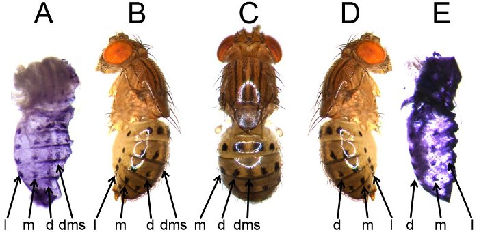 Pupae (A and E) and adult (B, C, and D) fruit flies showing lateral (l), median (m), dorsal (d), and dorsal midline shade (dms) spots.
