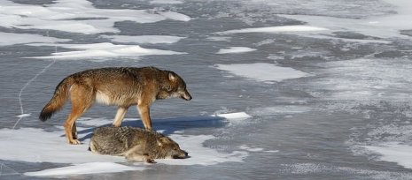 Wolves of Isle Royale National Park.