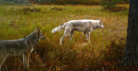 Wolves in the Upper Peninsula of Michigan.