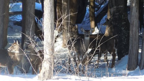 Deer like to gather under the protection of evergreens like northern white cedar in the winter.