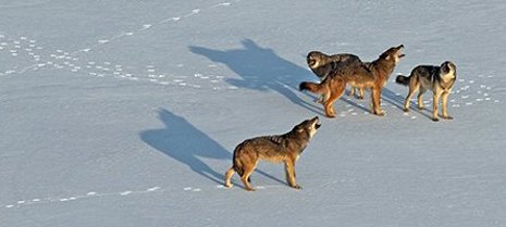 Isle Royale wolves face harsh winters and suffer from inbreeding.