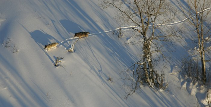 Isle Royale wolves trek through the snow.