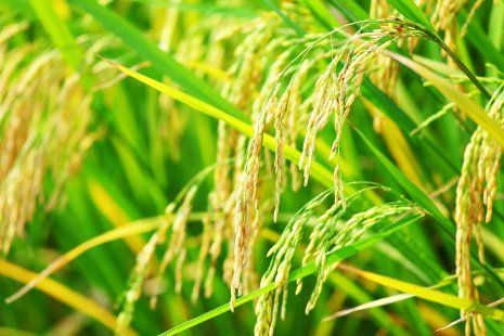 Guiliang Tang aims to decode the genetics of food crops, leading to more productive, disease-resistant varieties. Thinkstock photo