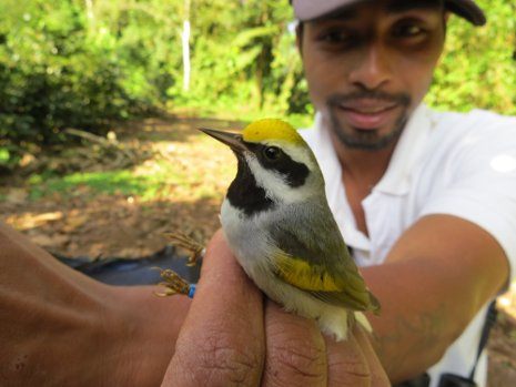 Moises Siles, Amber Roth's banding assistant at Reserva El Jaguar in Nicaragua, holds the Golden-winged Warbler in his hand.