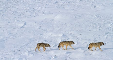 Only three wolves appear to remain on Isle Royale.
