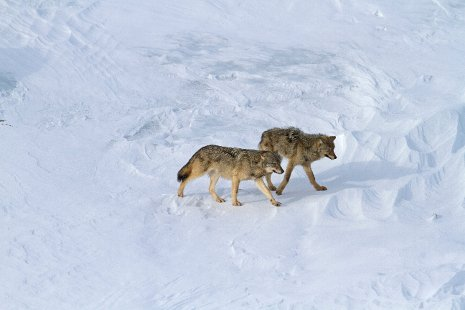 Two wolves walking in the snow.