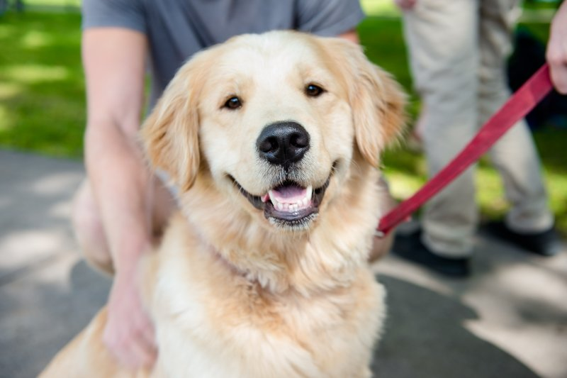 Up close of a golden retriever's head while sitting and on a leash. Someone is holding the leash while another person is kneeling behind the dog.