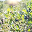 blueberries-1576403_1920