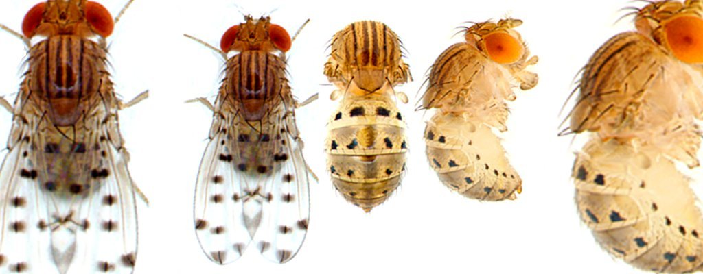 The genes that govern abdominal colors and patterns in fruit flies may provide insight into human cancer genes.