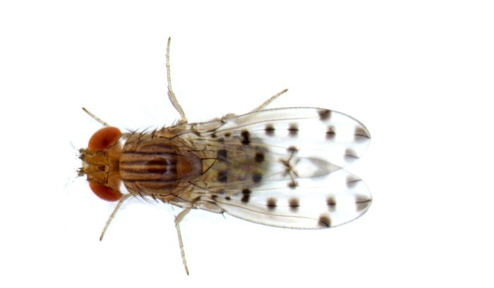 Fruit fly Drosophila guttifera
