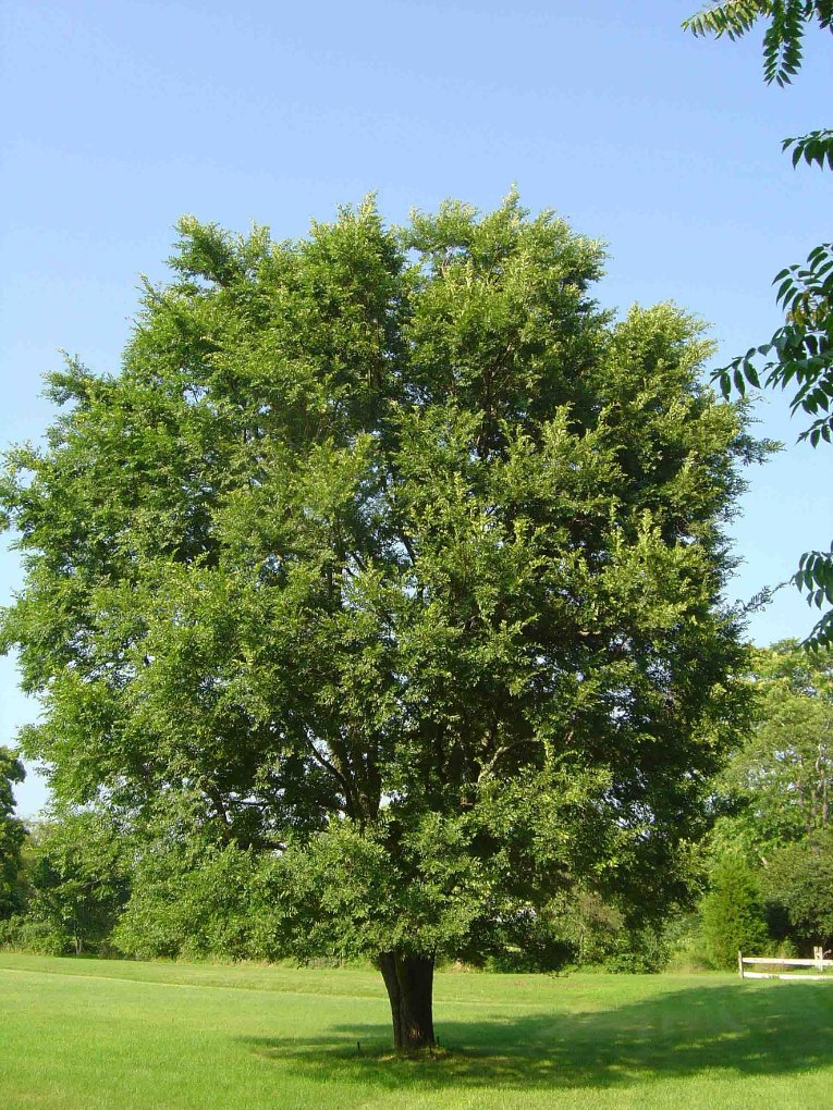 The round crown of Chinese elms like this one in New Hampton, New York is distinct, as is their late-lasting and dark green foliage.