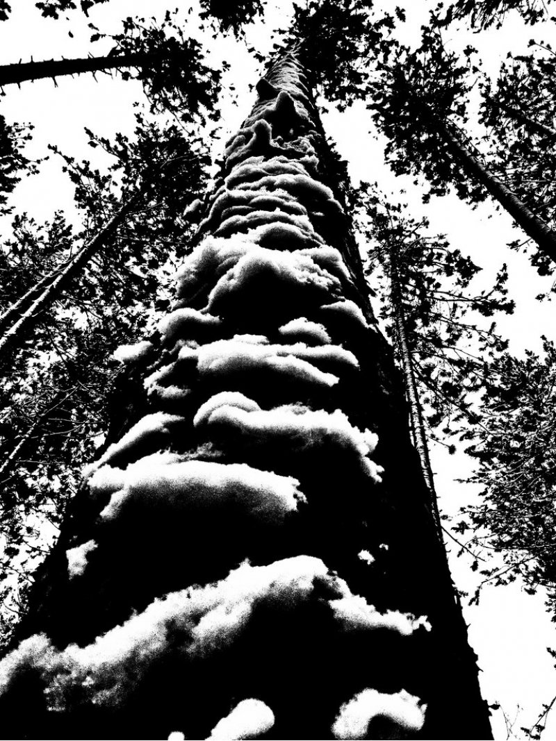 Black and white photo looking upwards at trees