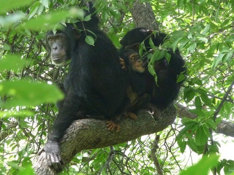 Ontl has observed several chimp groups in West Africa, including the Fongoli chimps.