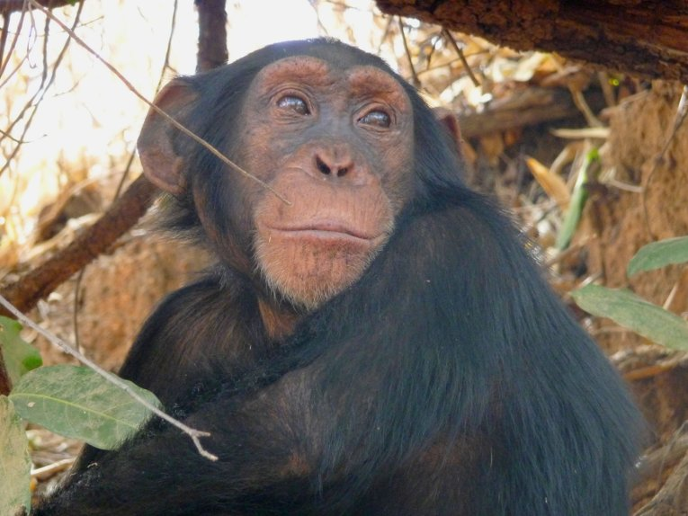 The Fongoli chimps are highly skewed male, which creates more mating pressure and competition in the group.