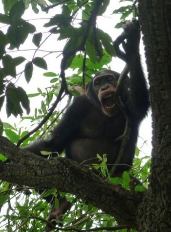 Trees are bitten more often than fellow chimps.