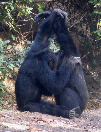 Grooming is an important part of chimp society; so are secret handshakes.