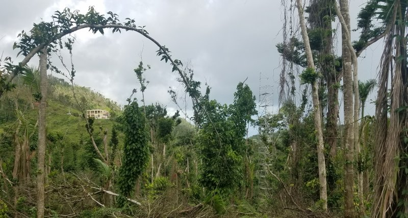 The hurricane-damaged trees of El Yunque Experimental Forest with canopy access tower in the background.
