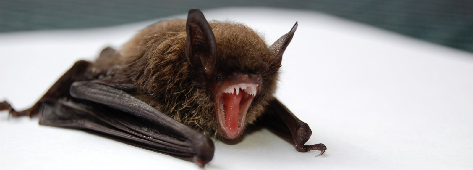 bat opening its mouth