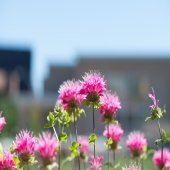 bright pink flowers with soft spikes on top and green leaves and buildings in the background outside on a college campus bee balm