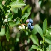 blueberries with white fruits and blue fruits and green leaves, brown steams living bush outside