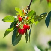green branches and red cherries outside