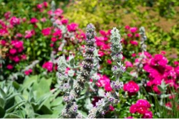 gray soft leaved lambs ear plant with fuschia pink blooms in the foreground of a green garden outside on a sunny day