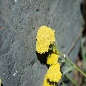 yellow yarrow blossom against a dark rock in an outdoor garden on a college campus