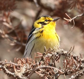 bright yellow songbird
