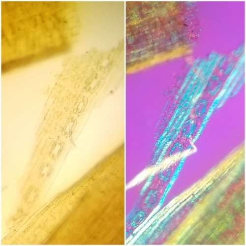 Side-by-side images of white pine cells under bright light microscope and under polarized light microscope.