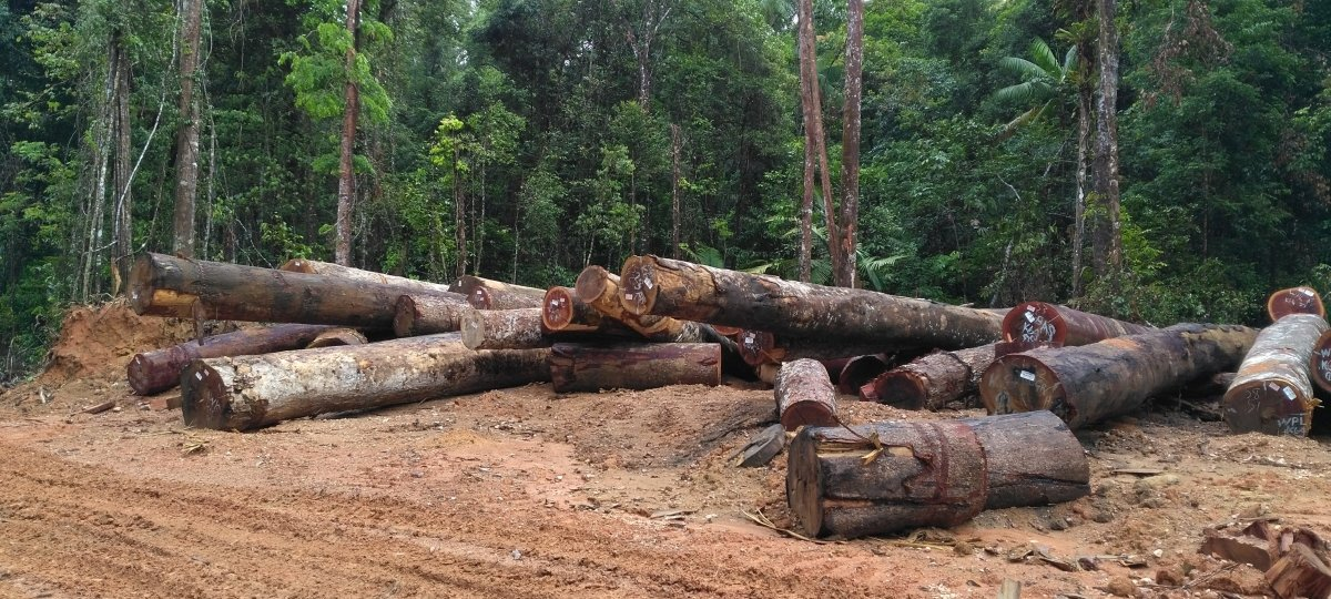 Tall trees in the tropical rainforest were felled to supply the international market demand for tropical hardwoods.